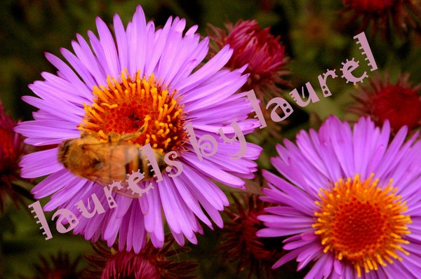 The Honeybee and the Aster