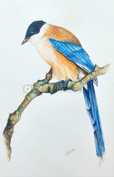 The Iberian Azure Winged Magpie