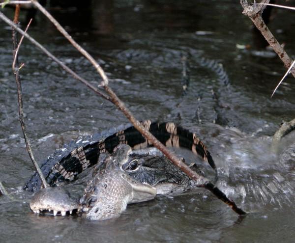 Big Gator vs Little Gator