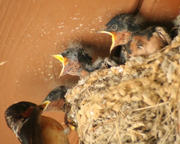 Feed Me! Feed Me! Baby Barn Swallows
