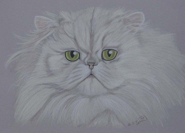 Chinchilla Cat.