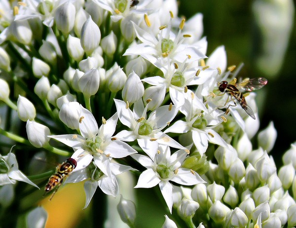 Chives and Hoverflies
