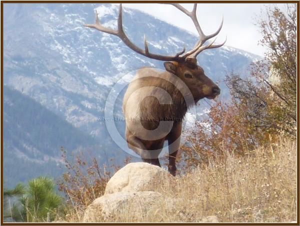 Colorado Bull Elk Watching the Herd