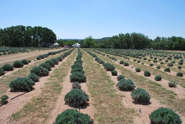 Miller Creek Lavender Farm