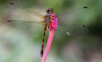 Dragonfly on Pink Bud