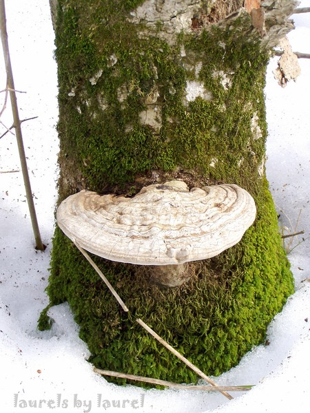 White Fungus on a Mossy Tree