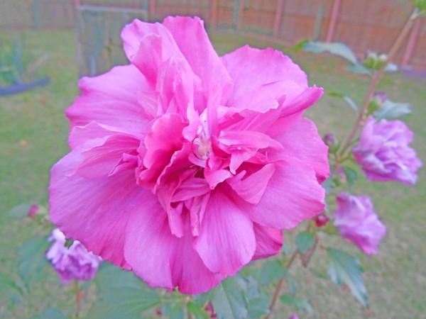 Beautiful Blooming Fuschia Rose