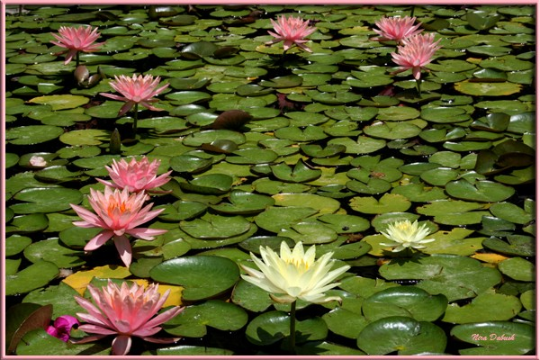 Waterlilies Sunbuthing in the Pool