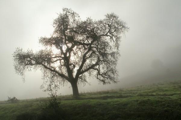 Olompoli Oak