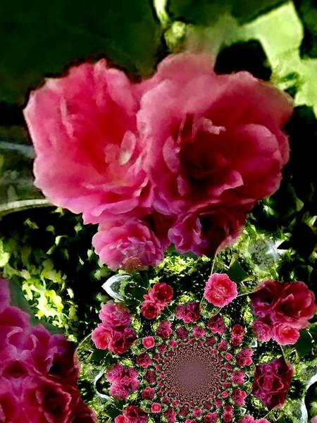Pink Pivoines (One)