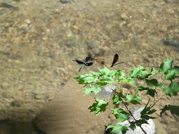 Flirting Dragonflies