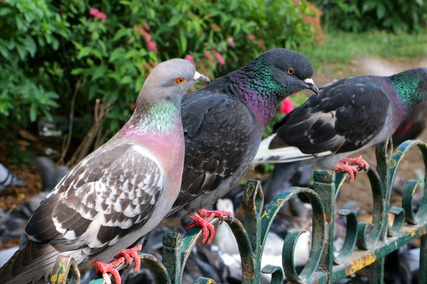 Pigeons In Paris-1671