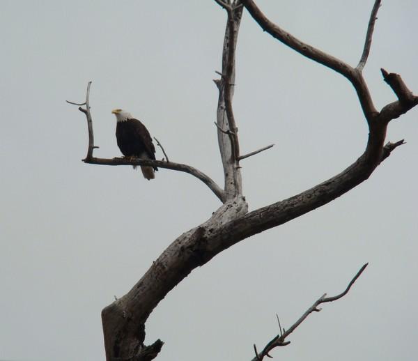 Our Local Eagle