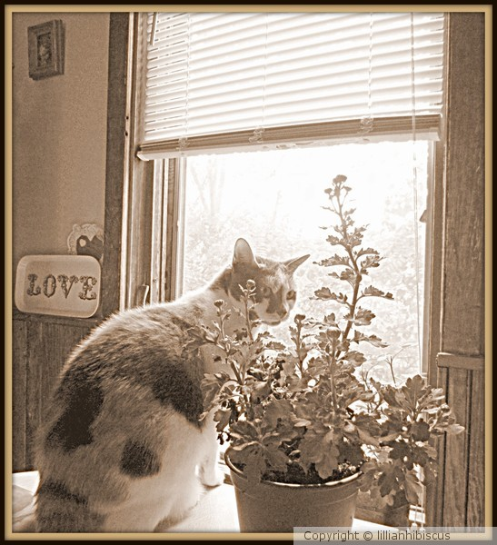 Calico and Mums