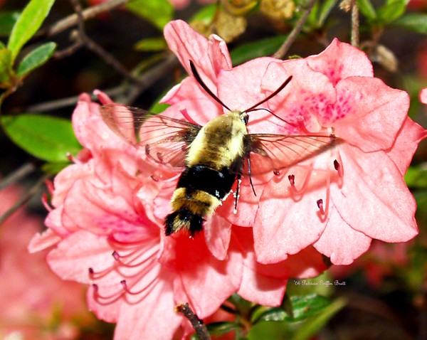 Snowberry Clearwing IV