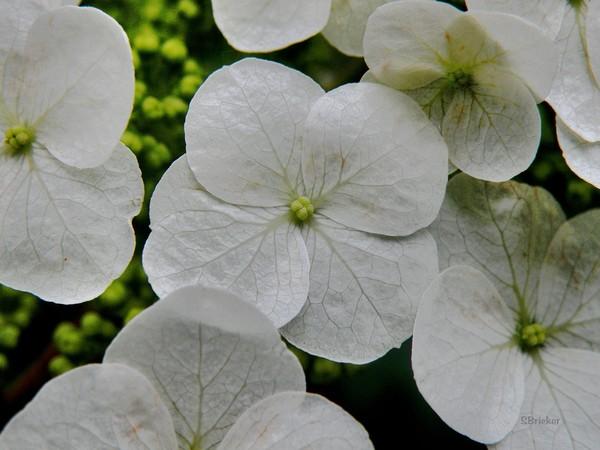 Oakleaf Hydrangea In Macro