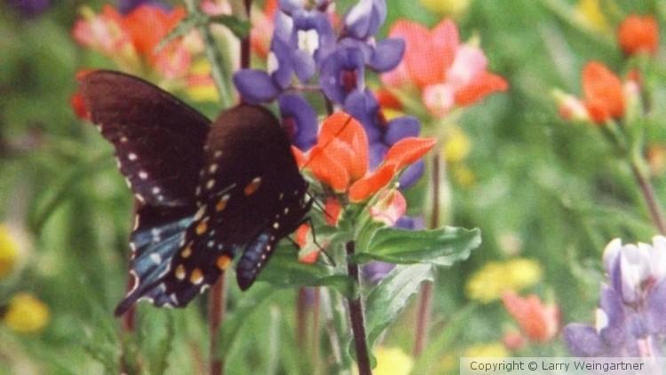 Butterfly & Bluebonnets