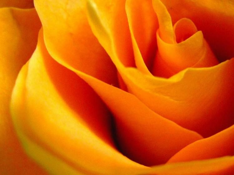Queen Rose