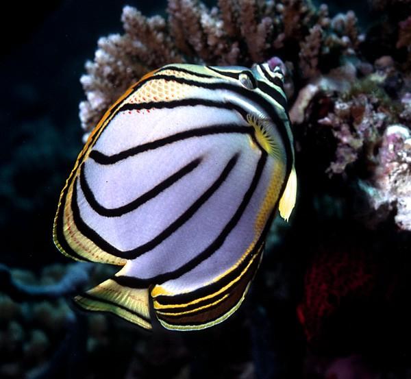 Buttlerfly Fish
