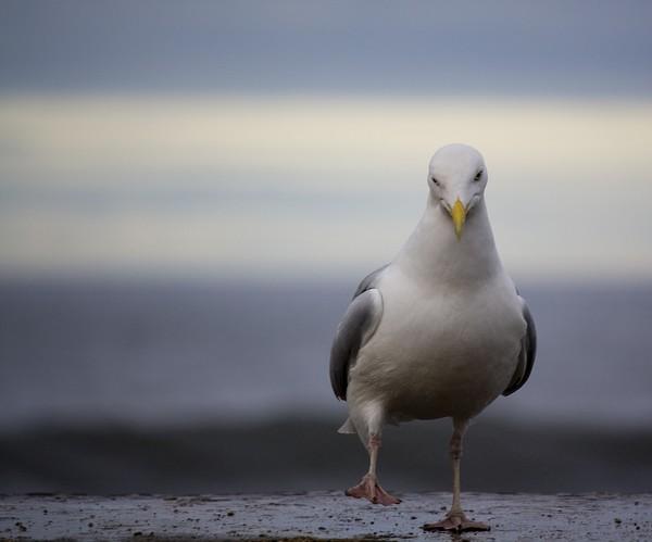 Dancing Gull ?