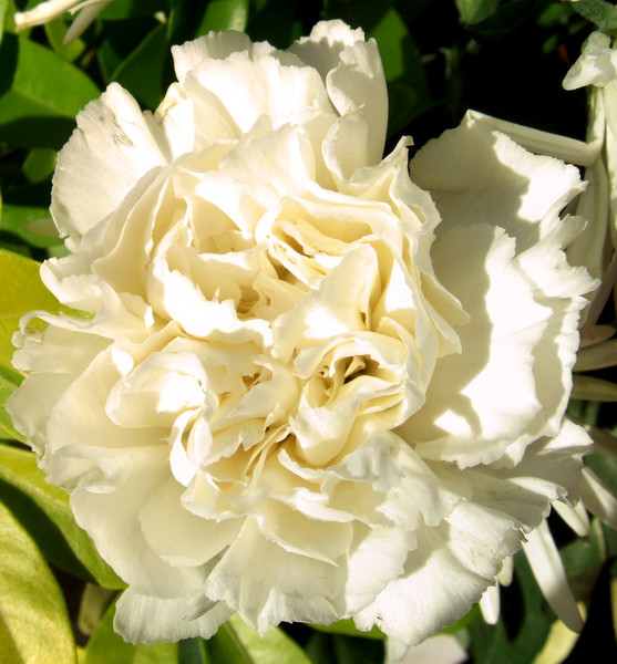 creamy carnation