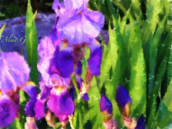 Garden of Iris