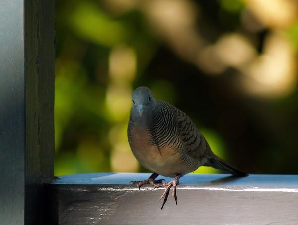 Hawaiian Mourning Dove