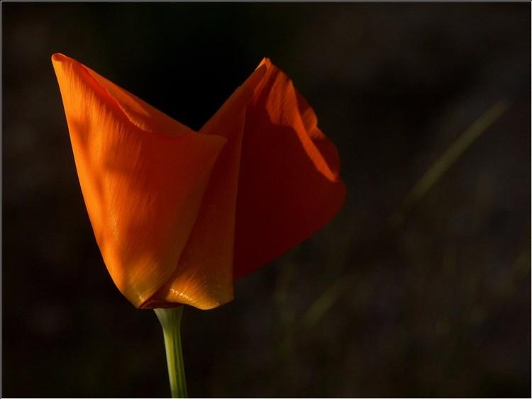 California Poppy _ V Sunset
