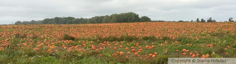 VERY  SMALL  PORTION  OF THIS PUMPKIN  FIELD  NEAR