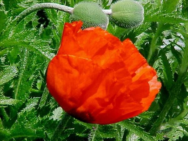 Poppy  2004