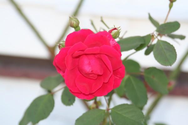 Last rose of Summer 2007