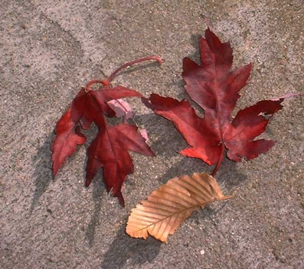 Three Red Leaves