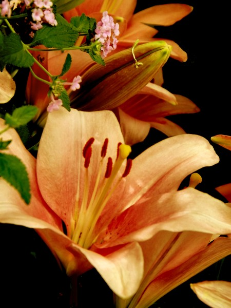 Peach Toned Lilies (One)