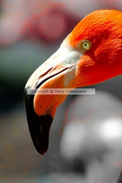 Flamingo head shot