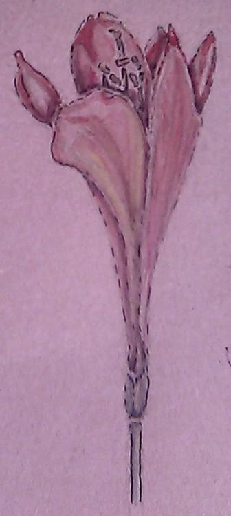 Clivia Watercolor