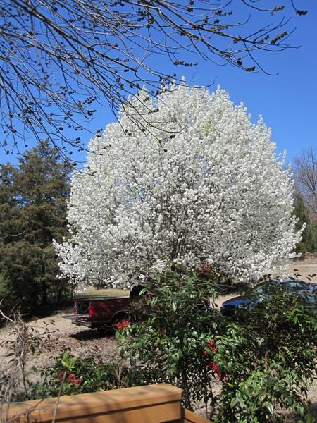 Pear Tree in Spring Coat