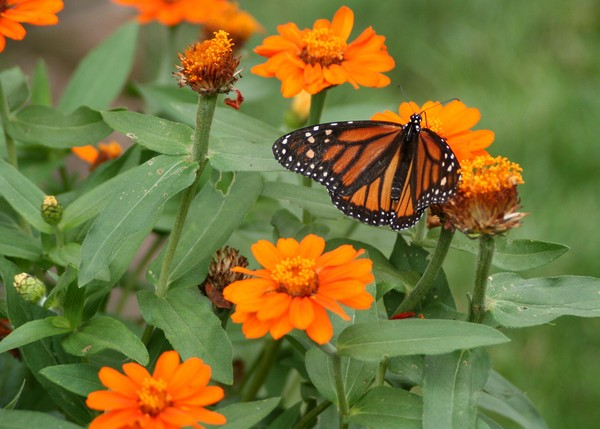 A Monarch Making the Rounds
