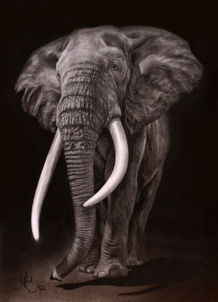 African Elephant drawing