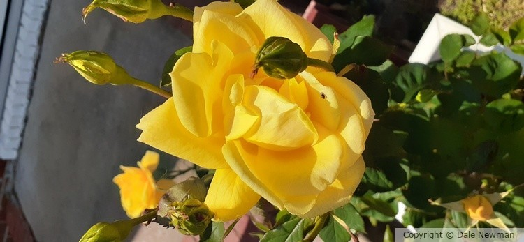 Yellow Rose in infancy