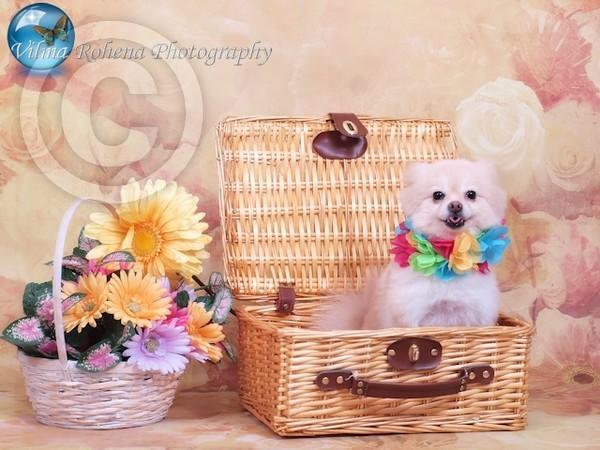 Pomeranian Floral Delight