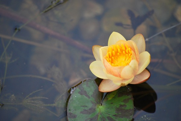 Miniature Water Lily
