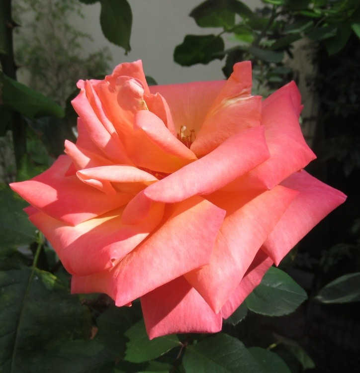 MARVELOUS STEF'S ROSE !!!!!!!!!!!!