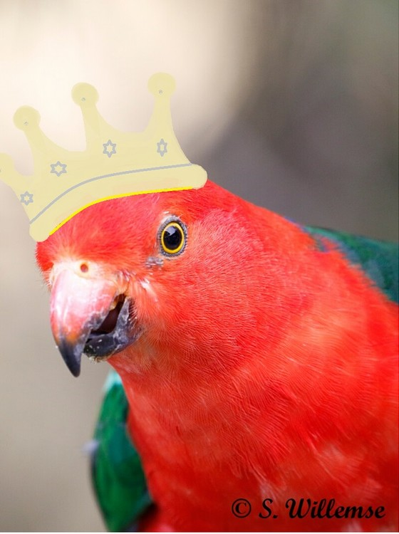 Art and Photography King Parrots Steven and Susan Willemse