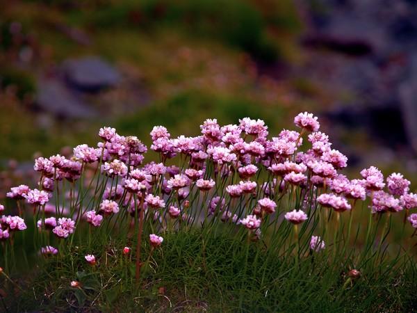 Irish Sea Pinks
