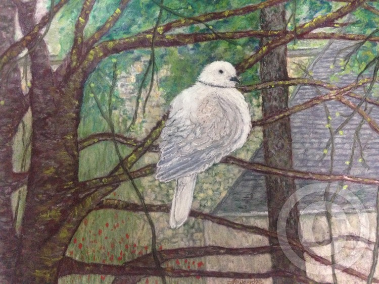 French forest Dove 2