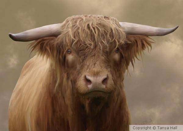 Highland Bull Portrait