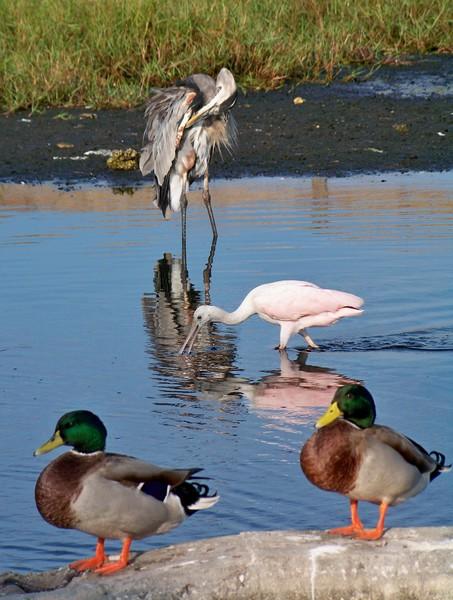 Duck Duck Spoonbill Blue Heron