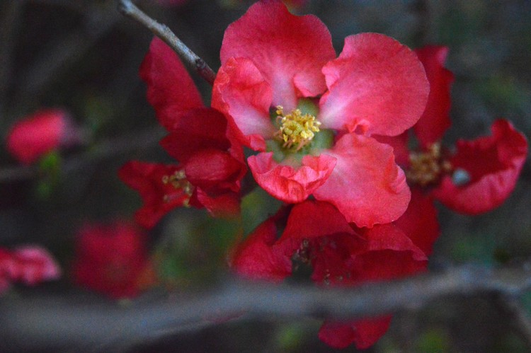 red flowering pomegranate