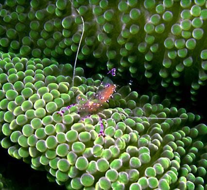 Anemone Shrimp 2