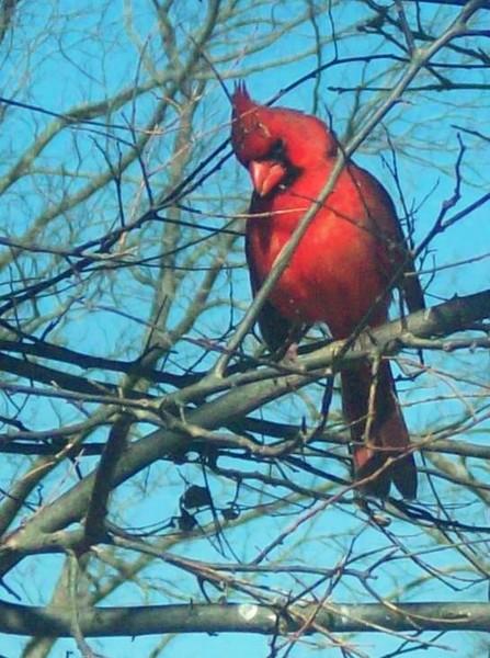 Cardinal Beauty